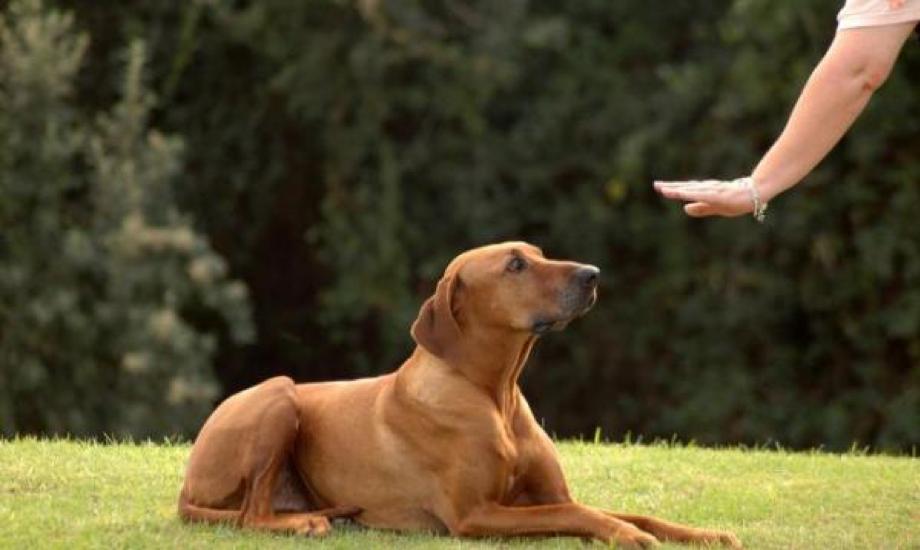 Imagen 3 - 5 comandos principales en el adiestramiento canino